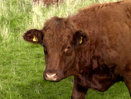 limousin: Limousin cow in a fielld in the north of England