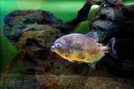 piranha under water in the aquarium Stock Photo