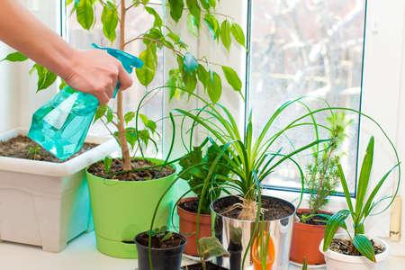 Pulverización de plantas de interior. Plantas verdes en el alféizar de la ventana.
