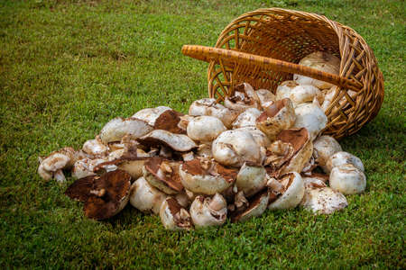 Basket and mushrooms on green grass