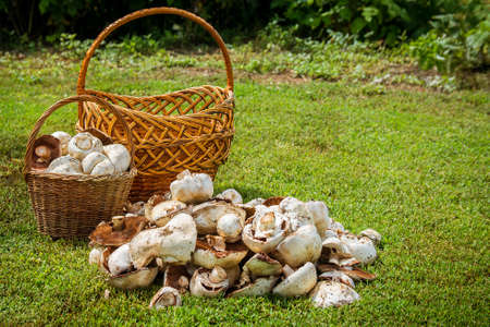 Two baskets and mushrooms. Harvest mushrooms