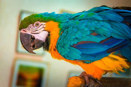 Large multicolored parrot closeup, parrot sitting on a perch