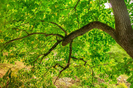 Bright green leaves on the tree. Tree branch