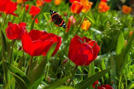 A butterfly flutters above the red tulips. Butterfly and tulips