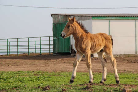 A small colt in the paddock, a colt walking