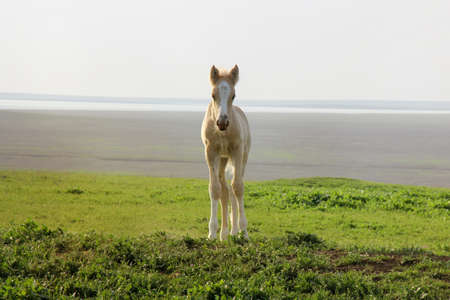 A small white colt on the green grass in a field
