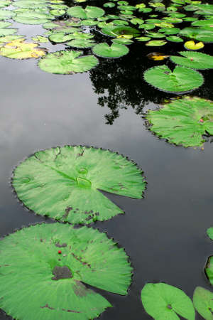 cyprinoid: Water lotus on pond