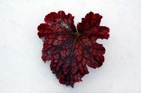winter leaf: Red winter leaf Stock Photo