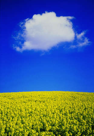 oilseed field with fluffy cloud Stock Photo - 471090