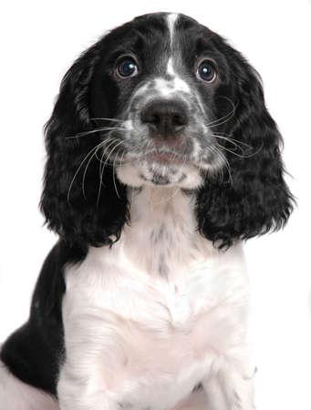 English springer spaniel puppy Stock Photo