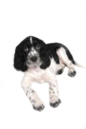 springer: English springer spaniel puppy Stock Photo