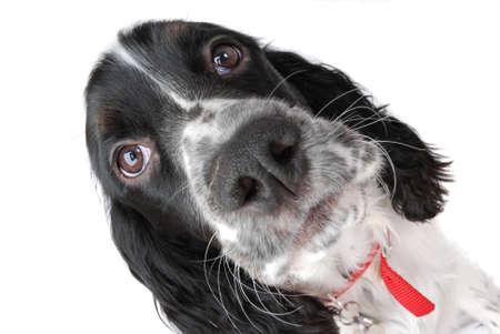 springer: english springer spaniel puppy  closeup