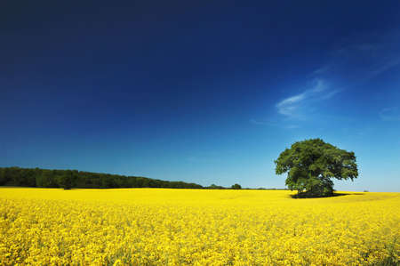 rapeoil: Oil seed rape field in the summer sun