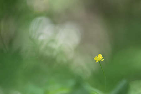 Blossoming meadow buttercup (Ranunculus acris) plant with yellow and green flower from buttercup or crowfoot family (Ranunculaceae) on a purple-green blurry forest background Stock Photo