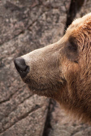 A grizzly bear portrait smiling close up.