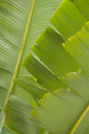 Foglia di palma, close-up shot