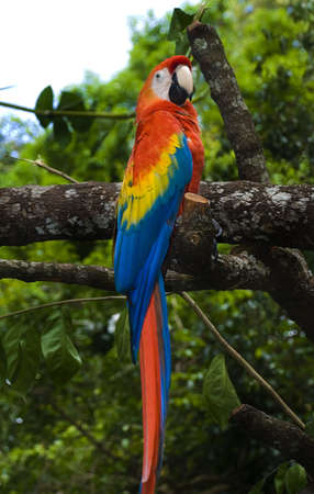 green winged macaw: Parrot, green winged macaw - Ara Chloroptera