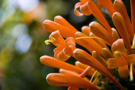 Orange tube flowers photo