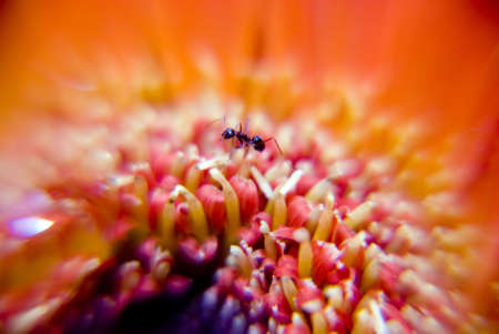 Ant on gerbera flower - marco shot photo