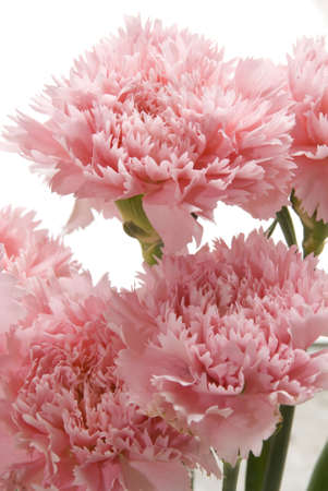 Close up of a bunch pink carnation flower bud Stock Photo