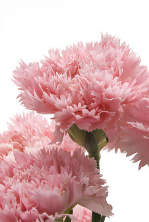 Close up of pink carnation flower bud Stock Photo - 3474047