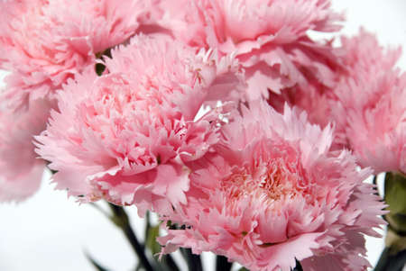 Close up shot of pink carnation flower photo
