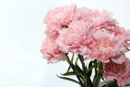A bunch of pink carnation flower on white backgroud photo