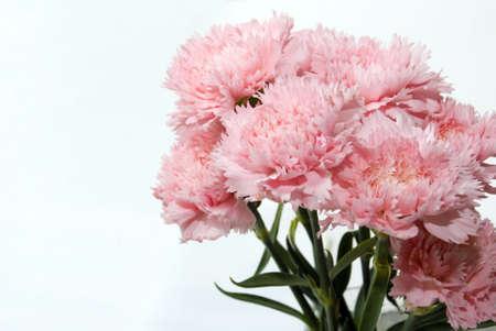 A kilka różowy kwiat goździka białego backgroud Zdjęcie Seryjne