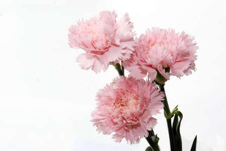 Three stalk of pink carnation on white background