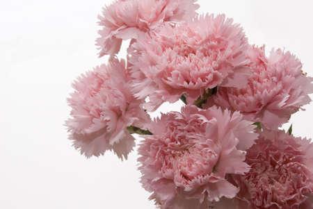 red carnation: Studio shot of pink carnation flower