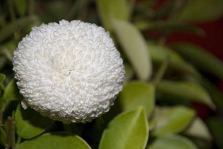 cotton ball: One white cotton ball look alike flower Stock Photo
