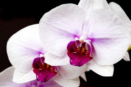purple orchid: Moth orchid (Orchidacea phalaenopsis), close up stock photo Stock Photo