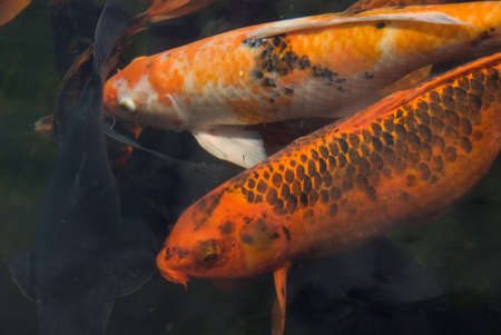 Giant Koi Carp Fish - Cyprinus Carpio photo