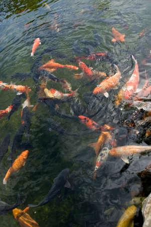 Giant Koi Carp Fish - Cyprinus Carpio Stock Photo - 4733391