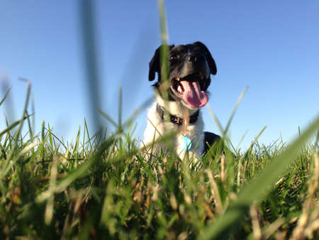 fetch: Dog laying in a grass field after a game of fetch  Stock Photo