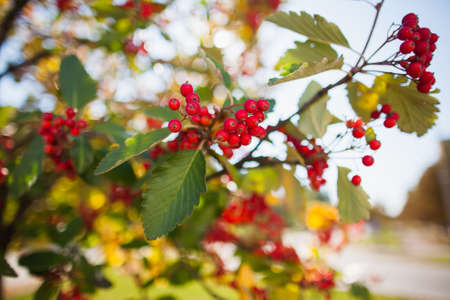 bunch up: Close up of bunch of rowan berries in autumn. Selective focus Stock Photo