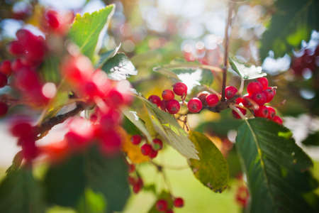 bunchy: Close up of bunch of rowan berries in autumn. Selective focus Stock Photo