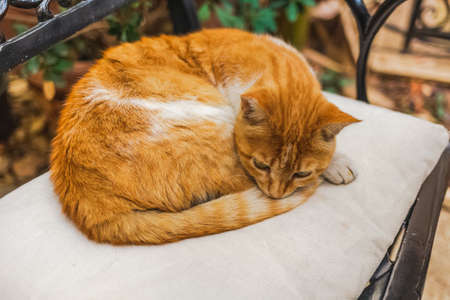 Calm cute not purebred adult orange and white cat resting outdoors laying on chair. Closeup portrait of animal. Horizontal color photography