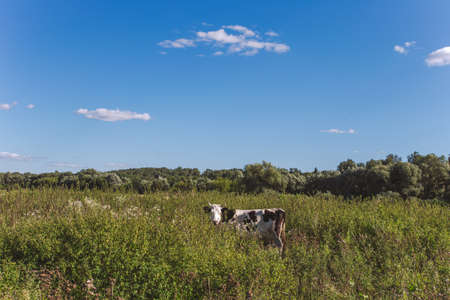 Lonely black and white funny cow gazing at camera in beautiful countryside landscape while standing in long wild green grass outside on sunny summer meadow. Wide angle horizontal color photography. Imagens