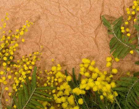 Closeup top view of bright yellow mimosa flowers and green branches isolated on brown craft paper with copyspace. Floral holiday background. Flatlay horizontal color photography. Zdjęcie Seryjne