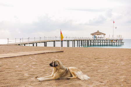 Big homeless dog relaxing at sandy morning beach lying on sand. Horizontal color photography.