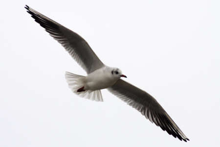 Gull is fying with spread wings photo