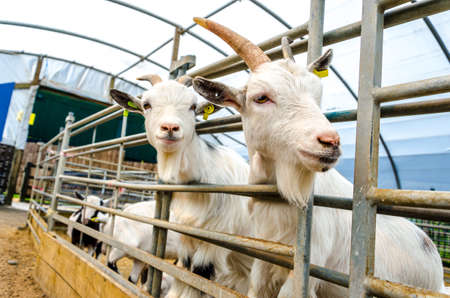 penned: Penned Goats at Farm Visitor Centre