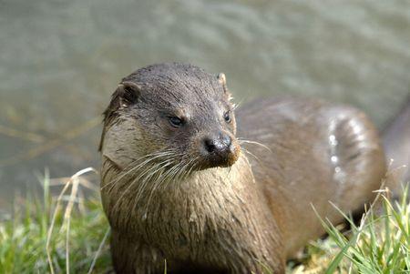 otter: Wet otter