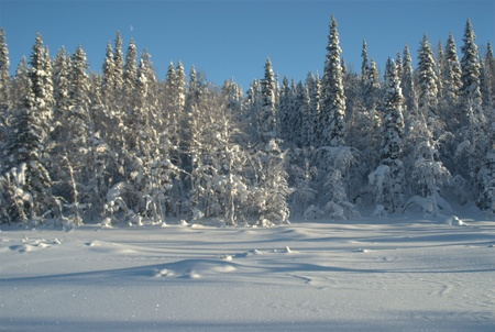 Snow covered golden like forest with blue sky photo