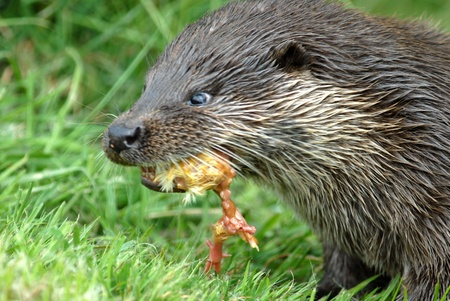 Otter with wet fur feeding on a meadow photo