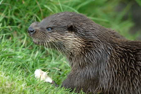 small clawed: Otter with wet fur feeding on a meadow