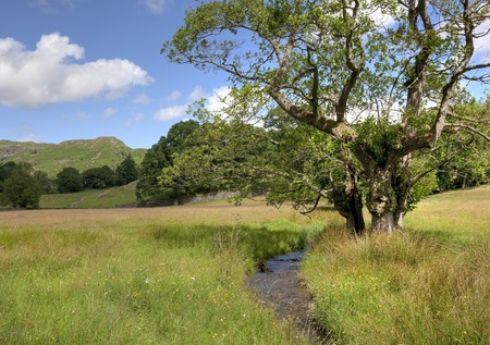 Common Alder tree by stream, Elterwater, the Lake District, Cumbria, England Stock Photo - 24516552