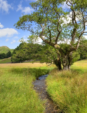 alder tree: Common Alder tree by stream, Elterwater, the Lake District, Cumbria, England