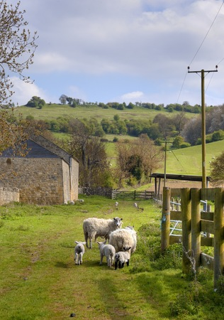 lambing: Farm scene showing sheep and lambs, Cotswolds, England  Stock Photo